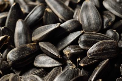 black sunflower seeds for sheep black sunflower seeds organic